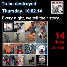TO BE DESTROYED: 14 Dogs to be euthanized by NYC ACC- THURS. 10/02/14. This is a HIGH KILL shelter group. YOU may be the only hope for these pups! ****PLEASE SHARE EVERYWHERE!!!TTo rescue a Death Row Dog, Please read this:  http://urgentpetsondeathrow.org/must-read/    To view the full album, please click here:    https://www.facebook.com/media/set/?set=a.611290788883804.1073741851.152876678058553&type=3