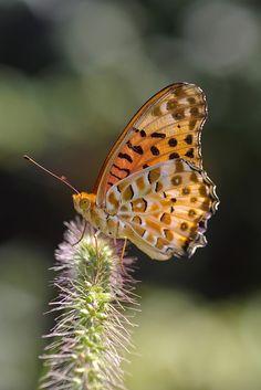 Argynnis Hyperbius, Butterfly, Indian Fritillary