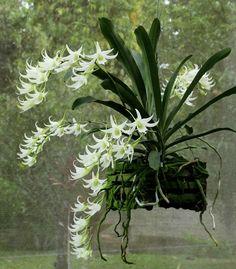 Rare Orchids, Parcs, Hanging Plants, Get Outside, Horticulture, Houseplants, White Flowers, Flower Art, Flower Arrangements