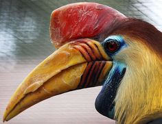 A Sulawesi wrinkled hornbilll (Aceros cassidix) in the Birds Park in Walsrode, northern Germany