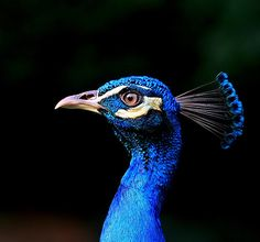 Blue Peacock | Flickr - Photo Sharing!
