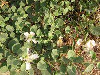Κάπαρη-Capparis spinosa Garden, Plants, Diy, Do It Yourself, Garten, Bricolage, Flora, Planters, Outdoor