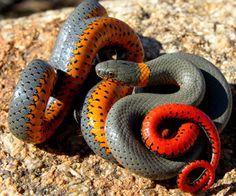 Dark Orange Tangerine Milk Snake | Herpetology Exam 4 at Berea College - StudyBlue