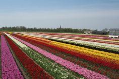 Nederland The Netherlands Kleur Color - Mieke Löbker - Picasa Webalbums Bollenvelden Anna Palowna The Netherlands