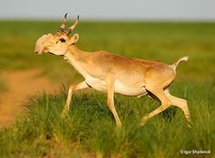 The Saiga's nose is actually an adaptation to the extremely cold and dusty environment in which it lives. Its internal structure is composed of an intricate network of bones, hairs, and mucous-secreting glands. During summer migrations it helps filter out dust kicked up by the herd and cools the animals blood. During the winter it heats up the frigid air before it is taken into the lungs, thereby reducing heat loss in its body.
