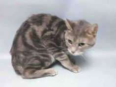 ***TO BE DESTROYED 09/28/16*** Poor China was surrendered to the ACC by her owners due to