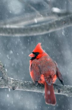 cardinal - always makes me think of my mom, she's loved cardinals I Like Birds, All Birds, Pretty Birds, Little Birds, Beautiful Birds, Animals Beautiful, Ohio State Bird, Bird Pictures, Cardinal Pictures