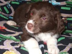 Nikita is an adoptable Australian Shepherd Dog in Mundelein, IL. Nikita is an 8 week old Aussie/lab mix puppy. She is so adorable and sweet. If you are interested in meeting this very sweet boy plea...