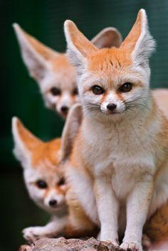 3 Cute Fennec Foxes