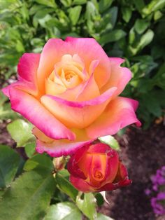 Tangerine Streams ~ Floribunda Rose