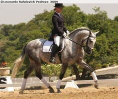 Lusitano stallion Artilheiro do Vouga