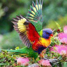 A Rainbow Lorikeet photography animals colorful beautiful nature birds animal wild life wild animals Kinds Of Birds, All Birds, Love Birds, Pretty Birds, Beautiful Birds, Animals Beautiful, Beautiful Things, Exotic Birds, Colorful Birds