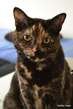 Hair Cat Fall Off Causes How To Know It and Treatment - Belezza,animales , salud animal y mas I Love Cats, Crazy Cats, Cool Cats, Tortoise Cat, Tortoise Shell, Gato Calico, Calico Cats, Beautiful Cats, Cat Breeds