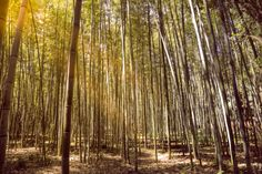 Arashiyama Bamboo Grove, Kyoto Japan by Radu Micu on 500px