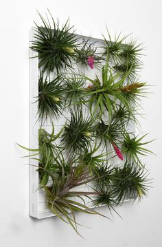 Airplantman sounds like a super hero, and maybe he is. His real name is Josh Rosen and he creates stunning air plant designs, including fantastic vertical squares to display a plethora of tillandsia aka Tillys. Rosen's piece the resistance is his large Airplantframe, a stunning piece of ...