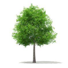 Max Sweetgum Tree Liquidambar Styraciflua - 3D Model
