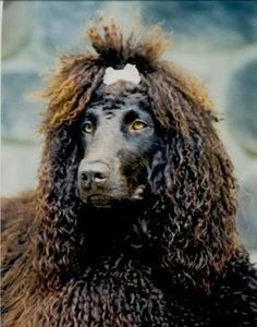 Irish Water Spaniel- omg I want her!