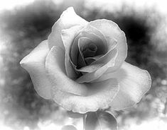 Old Black and White Photography | Black and White Rose: Rose edited in greyscale. An old fashioned ...
