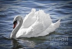 Really beautiful swan, look at the color of the water!