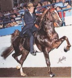 American Saddlebred stallion Blackberry Winter was sired by Oman's Desdemona Denmark.