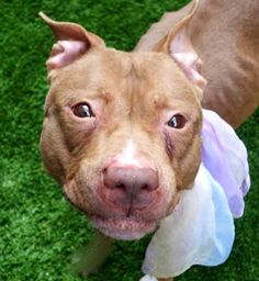 REMY - A1104898 - - Manhattan  TO BE DESTROYED 03/07/17  A volunteer writes: Remy reminds me of a timid little squirrel wondering where is her tree and all the nuts she stored in there. She is quiet in her kennel, accepts the leash easily and walks very nicely around the block, not forgetting to do her business on the way. She comes when called, poses for pictures, takes some treats politely and accepts caresses while being a little bit hand shy. She is slightly in alert wh