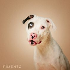 "11/16/16-HOUSTON - ""So they saved the best for last! Just playin'. Kinda. I'm a dairy cow/polar bear mix. Kidding again! I'm a dalmation/staffordshire mix. I'm having to be in boarding now so please offer to foster me so we can fall in love and you can foster fail!"" Pimento is available for adoption through The Love, Molly Fund http://www.thelovemollyfund.org/."