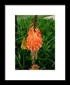 red hot poker, orange, flower, nature, blossom, macro, michiale schneider photography