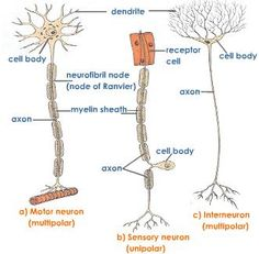 Three Types of Neurons Brain Anatomy, Human Anatomy And Physiology, Medical Anatomy, Biology Lessons, Science Biology, Teaching Biology, Life Science, Computer Science, Nervous System Anatomy