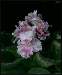 Saintpaulia. The humble african violet.
