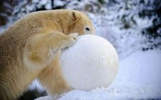 Snowball Fight!   Cutest Paw