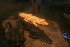 White Alligator Lounging   Flickr: Intercambio de fotos