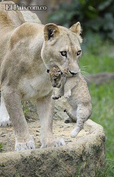Tres cachorros de león cautivan a los visitantes del Zoológico de Cali   EL PAIS