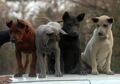 Thai Ridgeback Dog puppies of four color varieties. Big Dogs, I Love Dogs, Dogs And Puppies, Doggies, Rare Dogs, Rare Dog Breeds, Animals And Pets, Funny Animals, Cute Animals
