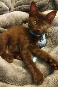 This chocolate brown kitten is a real beauty. cats kittens cat kitten kitty cute pets pet animals puppy animal happy This chocolate brown kitten is a real beauty. Cute Cats And Kittens, Cool Cats, Kittens Cutest, I Love Cats, Ragdoll Kittens, Tabby Cats, Funny Kittens, Bengal Cats, White Kittens