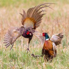 Fasanenkampf by Ingo Gerlach - Photo 107229671 / Wildlife Photography, Animal Photography, Common Pheasant, Animals And Pets, Cute Animals, Bird Breeds, Ring Necked Pheasant, Pheasant Hunting, Coyote Hunting