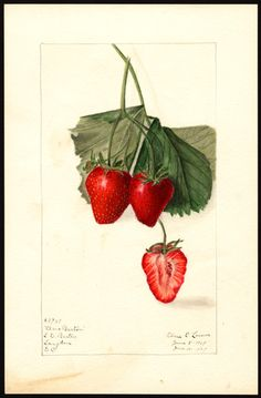Varieties of Fragaria (Strawberry). Illustrations (1907 - 1910)...