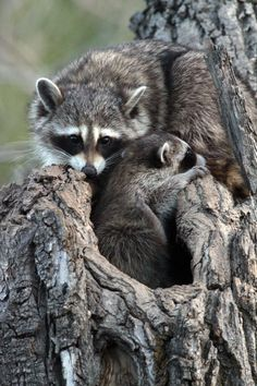 Raccoon Momma and baby