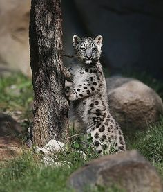 Illinois's Brookfield Zoo is home to this three-month-old male snow leopard cub, which made its public debut on September 18.