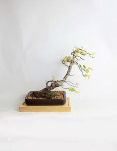 """Crape Myrtle Bonsai Tree """"Spring'17 Myrtle Collection"""" from LiveBonsaiTree by LiveBonsaiTree on Etsy"""
