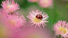 Biedronka, Różowe, Kwiaty, Albicja jedwabista