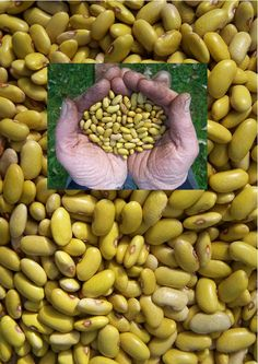 Giele wâldbeantsje. Frisian forest yellow bean. Productive, resists cold and wet weather