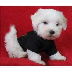 Coton De Tulear Puppies For Sale In Boksburg Gauteng For Sale