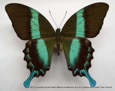 Green swallowtail butterfly - This butterfly has a 13 cm wingspan and was collected in North Celebes in Sumatra.