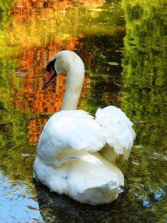 Swans are, of course, magic.
