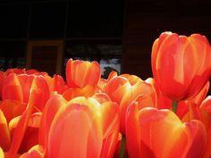 Top of Tulips  By Kristine Euler // Dallas Arboretum