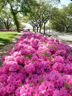 Southern Charm - Azaleas by Philosopher Queen, via Flickr