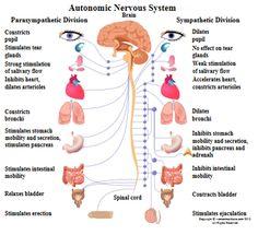 20 Nervous System Diagram For Kids Ideas Nervous System Diagram Nervous System Nervous