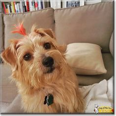 Zoe the Norfolk Terrier, the Dog of the Day