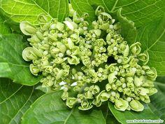 hortensias verdes - Buscar con Google