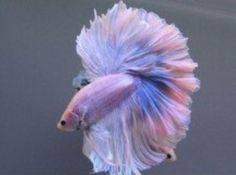 7 Stunning Betta Fish That Look Like They Are Wearing Tutus Pretty Fish, Beautiful Fish, Beautiful Creatures, Animals Beautiful, Cute Animals, Colorful Fish, Tropical Fish, Freshwater Aquarium, Aquarium Fish